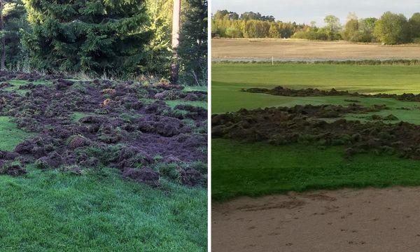 Vildsvin saboterar golfbanan