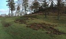 Vildsvin orsakade skador på Hills